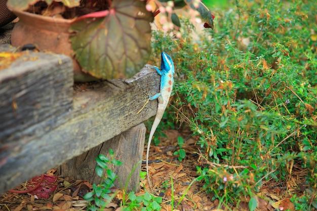 Asiatische tropische eidechsennaturwild lebende tiere, buntes reptiltier des thailändischen chamäleons