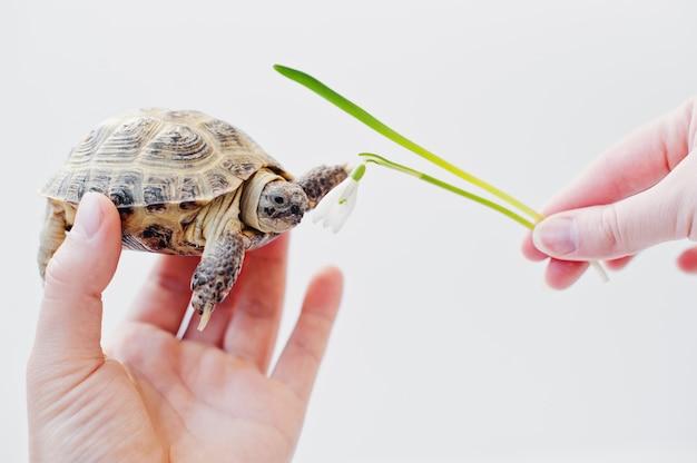 Asiatische überlandschildkröte zur hand des mannes und der schneeglöckchen lokalisiert auf weiß