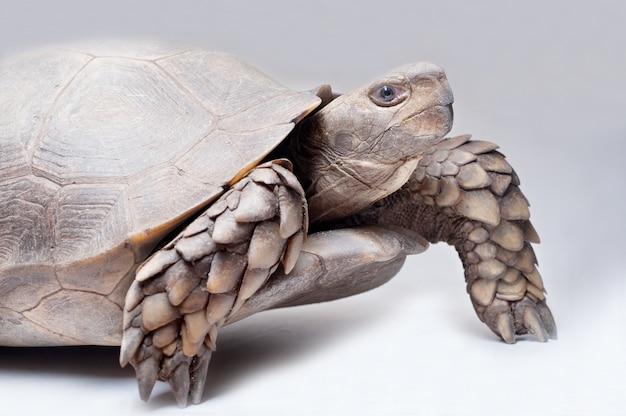 Asiatische waldschildkröte auf weißem hintergrund