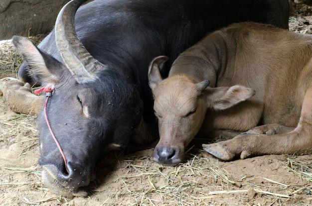 Asiatische wasserbüffel schlafen im stall
