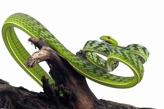 Asiatische weinschlange auf weißem hintergrund