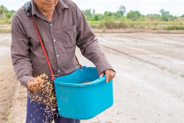 Asiatischer älterer landwirt, der samenreis für das pflanzen der sau an einer reisfarm hält