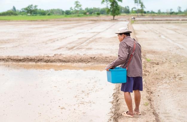 Asiatischer älterer landwirt sät reissamen auf reisfarm