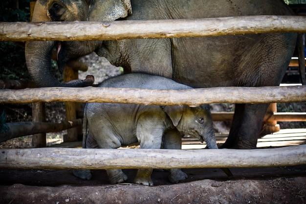 Asiatischer babyelefant mit mutter im hölzernen käfig