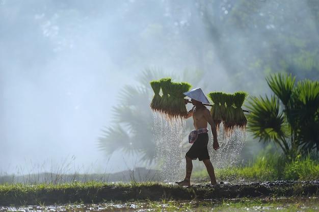 Asiatischer bauer, der reissämlinge auf dem rücken vor dem im reisfeld gewachsenen trägt