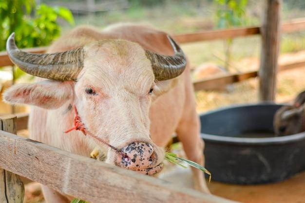 Asiatischer büffel in thailand.