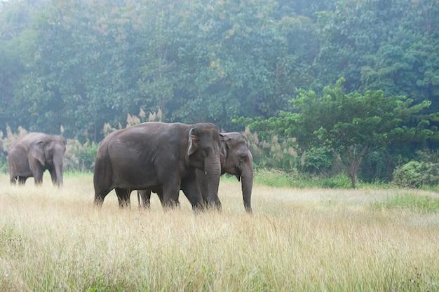 Asiatischer elefant, der auf grasartigen weg des schmutzes während des bewölkten sommertages am elefant-naturpark in lampang, thailand geht