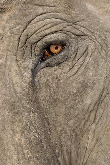 Asiatischer elefant - elephas maximus (40 jahre) vorne auf einem weißen isolierten