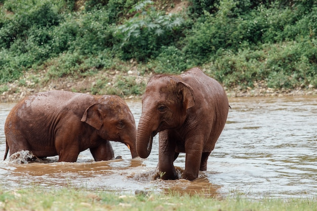 Asiatischer elefant in einer natur am tiefen wald in thailand