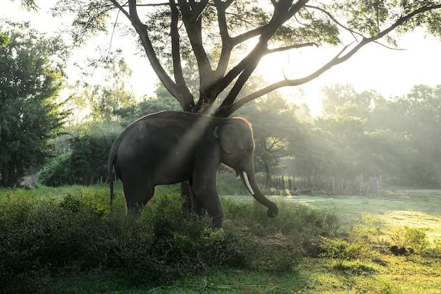 Asiatischer elefant mit sunbeam im schönen standort, thailand