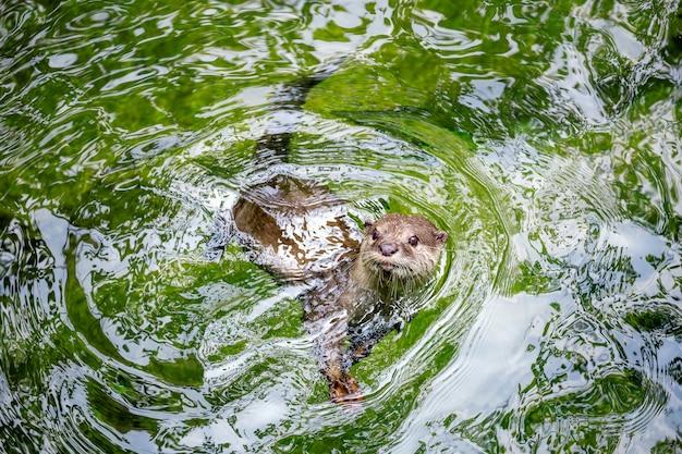 Asiatischer fischotter im wasser.