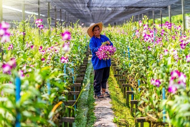 Asiatischer gärtner der orchideengartenfarm, die die orchideen schneidet und sammelt
