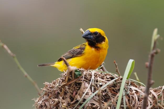Asiatischer goldener weber ploceus-hypoxanthus männliche nette vögel im nest