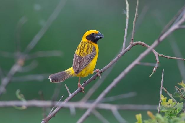 Asiatischer goldener weber ploceus hypoxanthus schöne männliche vögel von thailand