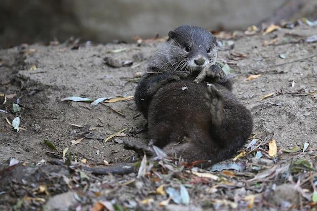 Asiatischer kleinkrallenotter im naturlebensraum