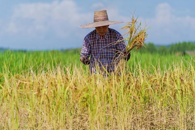 Asiatischer landwirt, der auf dem reisgebiet unter blauem himmel arbeitet