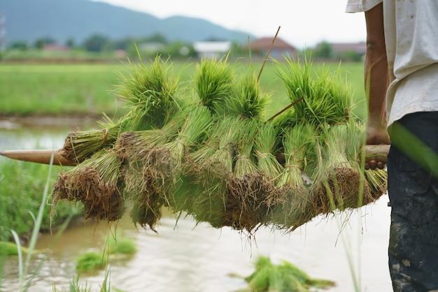 Asiatischer landwirt, der paddyreissämling anhebt