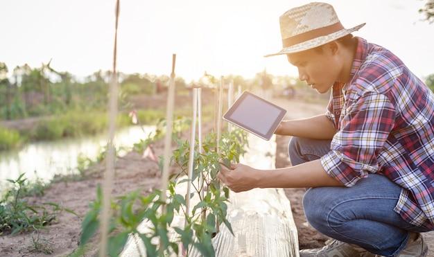 Asiatischer landwirt, der tablette verwendet und seine anlage oder gemüse (paprikabaum, überprüft)