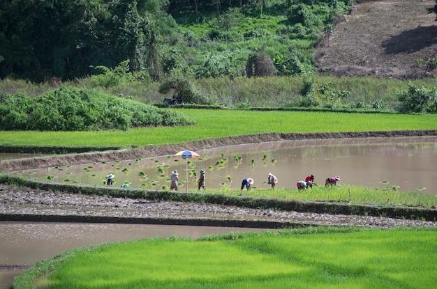 Asiatischer landwirt mit mehreren geschlechtern erntet reis in der regenzeit im stufenfeld in vietnam. landwirtschaftliche plantage auf dem land in südostasien.