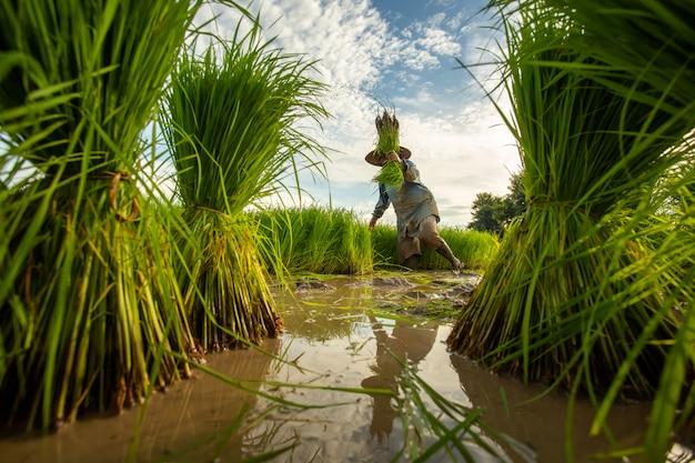 Asiatischer landwirt transplantiert reissämlinge im reisfeld, landwirt, der reis in der regenzeit pflanzt.