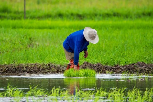 Asiatischer landwirt transplantiert reissämlinge im reisfeld, landwirt