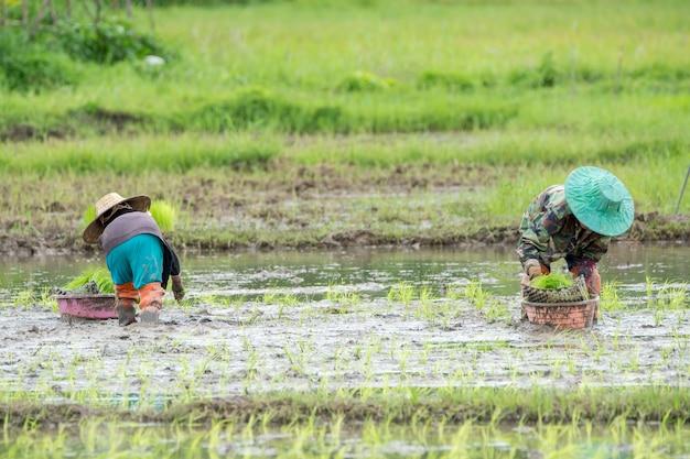 Asiatischer landwirt transplantiert reissämlinge im reisfeld