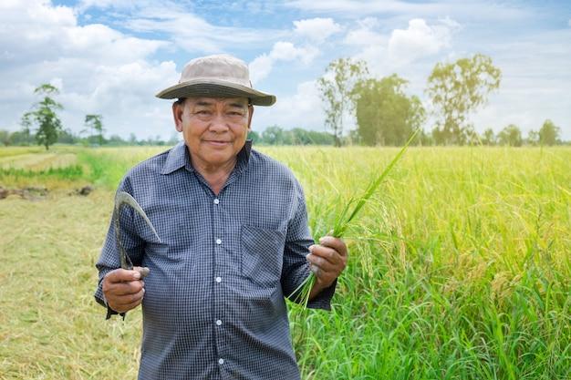 Asiatischer landwirtmann, der ein hut blaues gestreiftes hemd hält die goldenen paddykörner und lächelt glücklich auf den schönen reisgebieten trägt