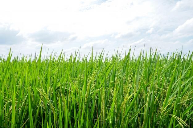 Asiatischer organischer jasmine rice auf dem grünen reisgebiet.