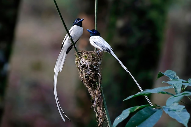 Asiatischer paradies flycatcher männliche vogel-weiß verwandeln sich auf das nest