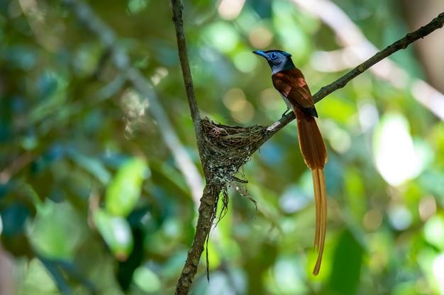 Asiatischer paradiesschnäppervogel thront am nest