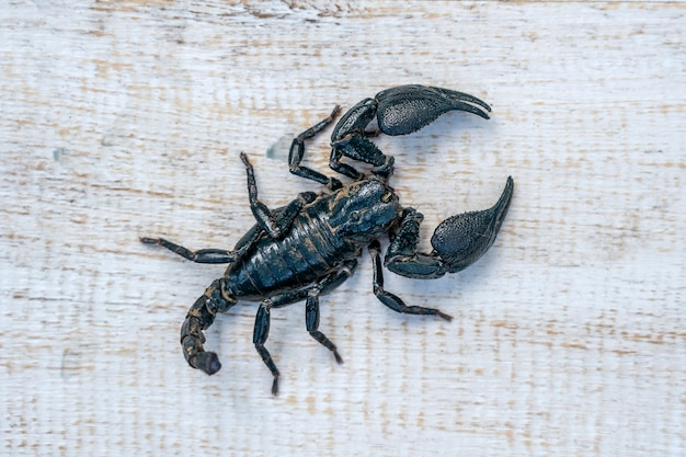 Asiatischer schwarzer skorpion auf weißem hintergrund aus holz in ubud, insel bali, indonesien. nahaufnahme