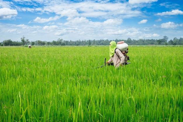 Asiatischer thailändischer landwirt zu den herbiziden oder zu den mineraldüngern ausrüstung auf dem grünen reisanbau der felder