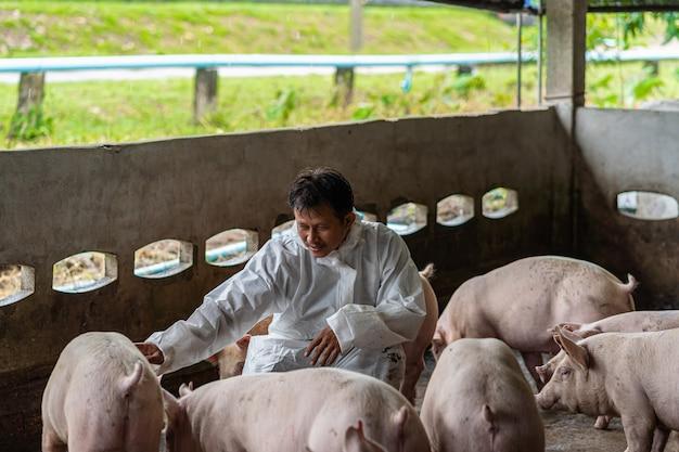 Asiatischer tierarzt, der das schwein in der schweinefarm-, tier- und schweinefarmindustrie bearbeitet und überprüft