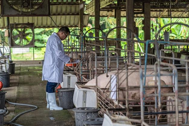 Asiatischer tierarzt, der das schweinefutter in schweinefarmen, tier- und schweinefarmen arbeitet und füttert