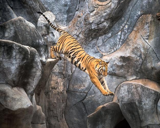 Asiatischer tiger, der auf einen felsen springt.