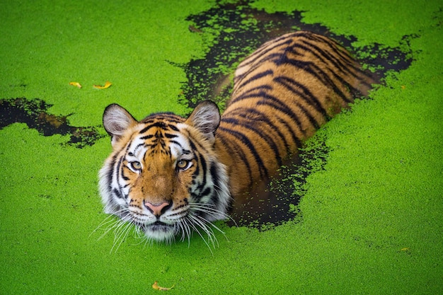 Asiatischer tiger, der im wasserteich steht.