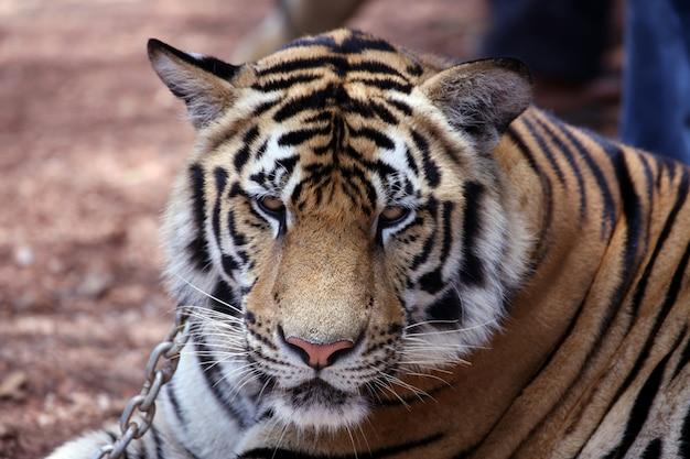 Asiatischer tiger nah oben