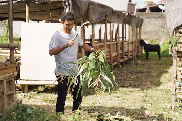 Asiatischer traditioneller bauer, der etwas nahrung für sein nutztier vorbereitet. fütterungszeit für ziegen und kuh