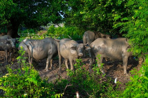Asiatischer wasserbüffel auf dem bauernhofgebiet, thailand