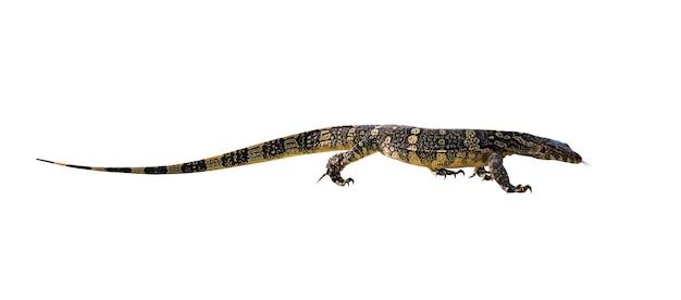 Asiatischer wassermonitor (varanus salvator) isoliert. reptil. wilde tiere.