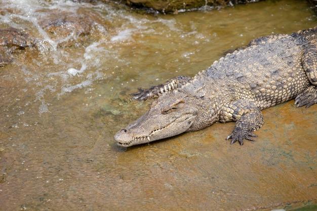 Asiatisches krokodil im fluss