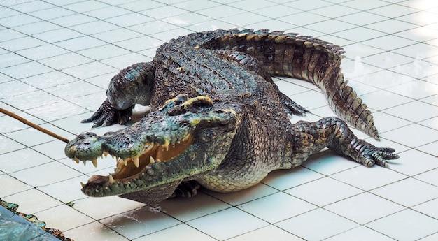 Asiatisches krokodil