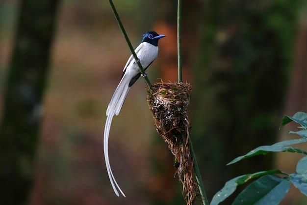 Asiatisches paradies flycatcher terpsiphone paradisi weißes morph der schönen männlichen vögel von thailand hockend auf dem nest