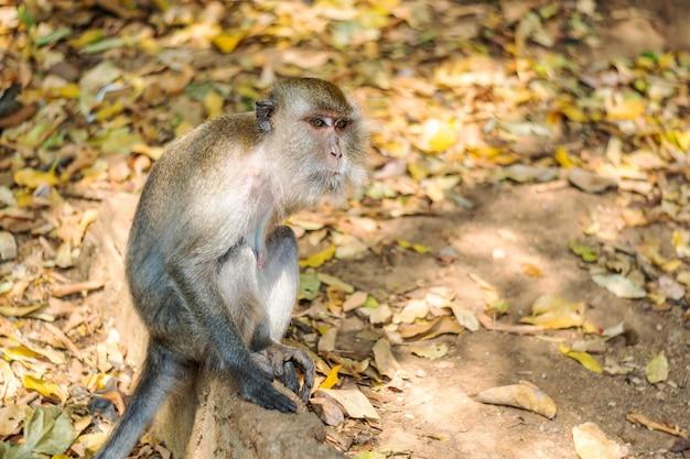 Asien-affewild lebende tiere