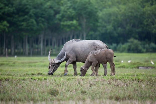 Asien-büffel im bauernhof