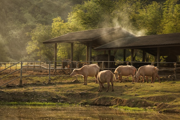 Asien-büffel mit schlamm im hölzernen bauernhof an rustikalem von thailand