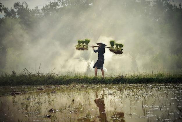 Asien-frauenlandwirt, der reispflanze auf der schulter geht auf dem reisgebiet hält