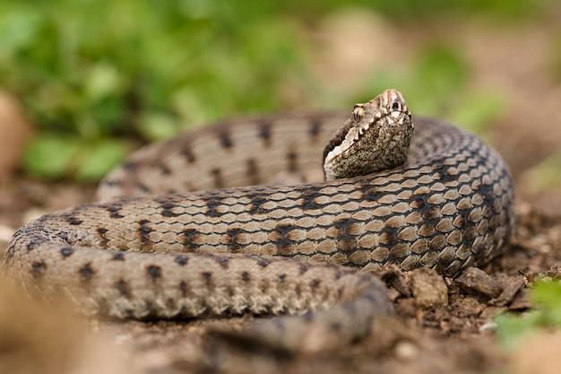 Asp viper in der natur.