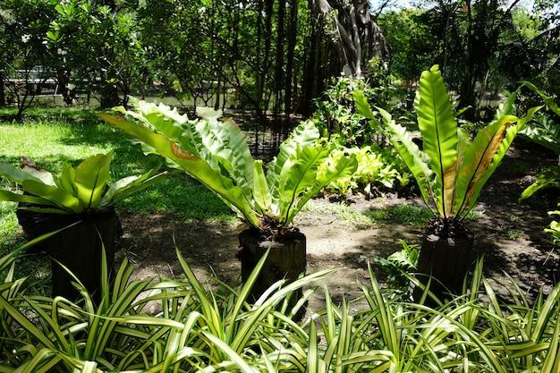Asplenium knusprige welle und farn auf stumpftopfdekoration im ngarden park und im tropischen regenwald