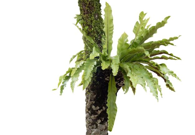 Asplenium nidus farn oder vogelnestfarn und moos kombinieren auf palme lokalisiert auf weißem hintergrund mit schnittpfad, berühmte pflanze für dekoration innen und außen
